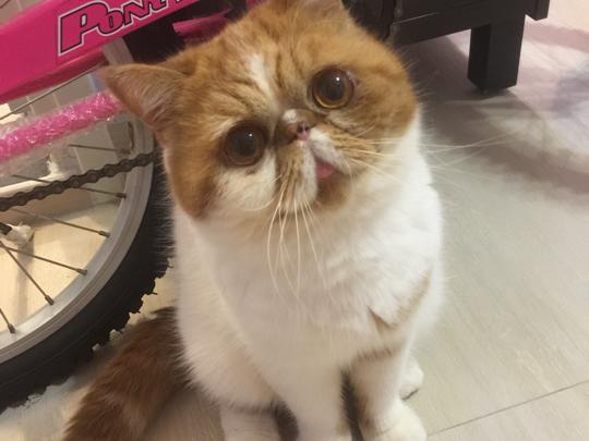 我家有3隻貓貓:呢隻係叮叮,係咪好可愛呢😍😍😍