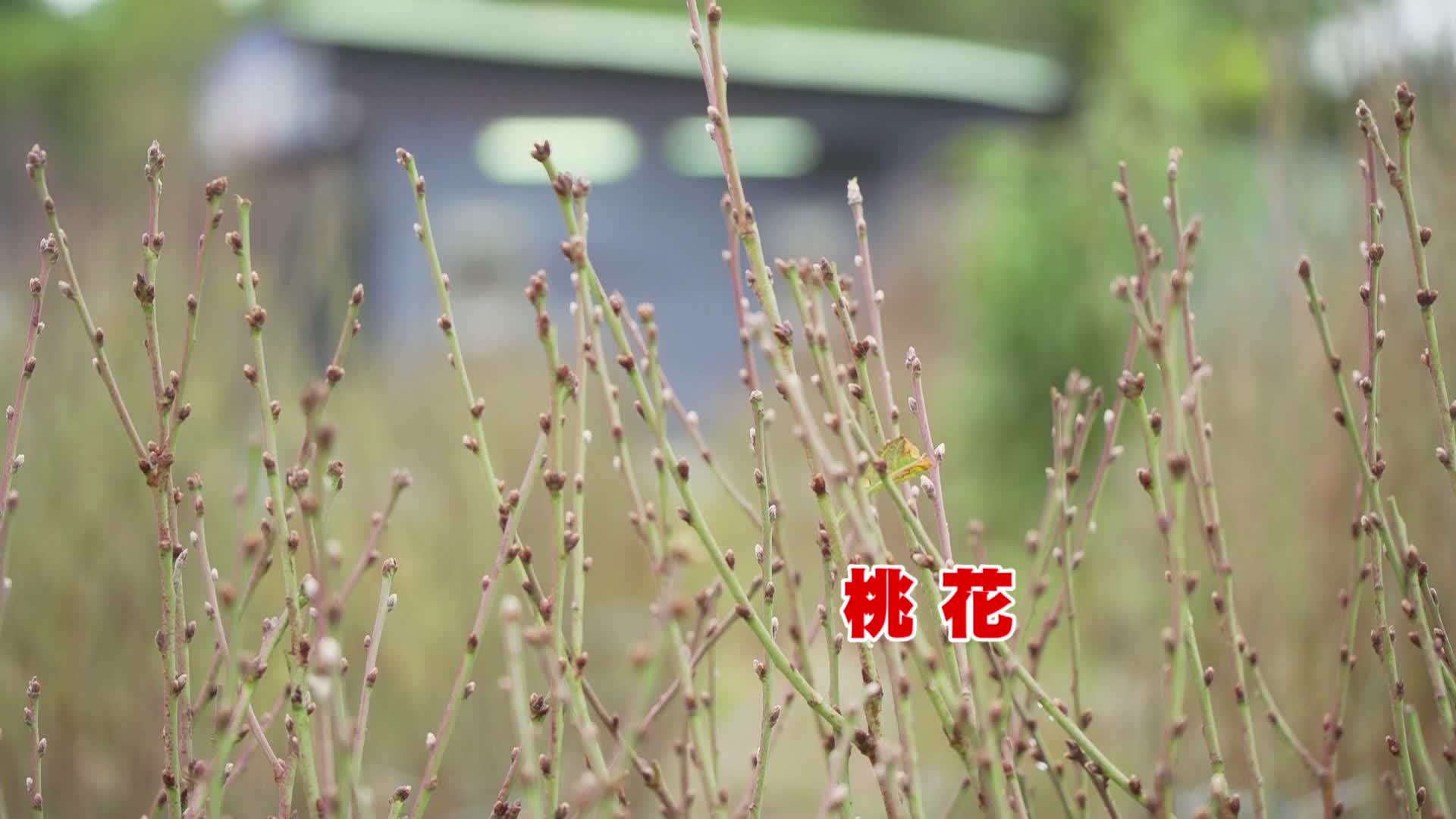 新春辦年貨 –  農場桃花