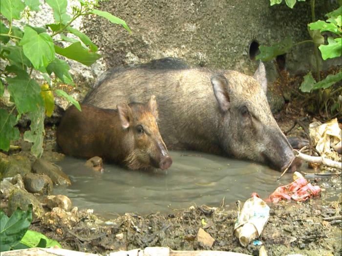 狂餵野豬變懶豬