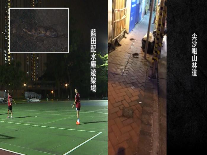 老鼠攻陷全香港
