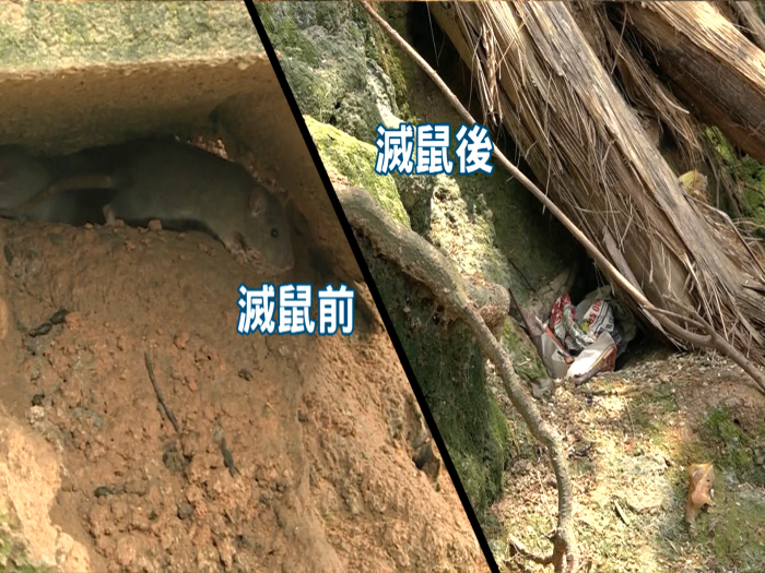 彩霞邨超大老鼠神秘大失蹤