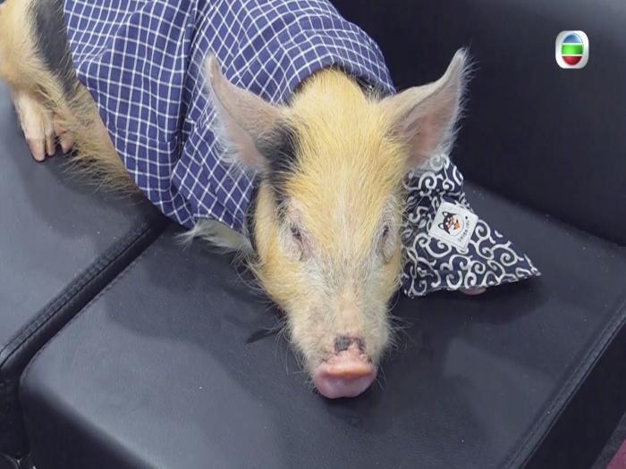 黃翠如洪永城與豬狗共遊澳洲