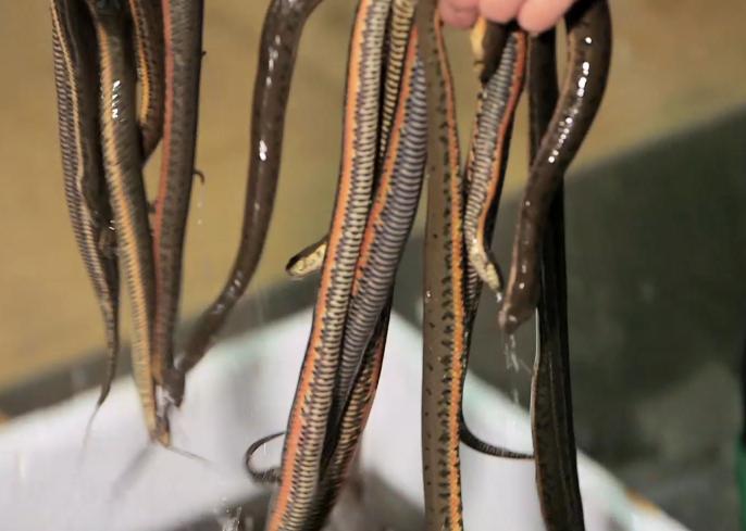 第五集:順德歎水蛇宴