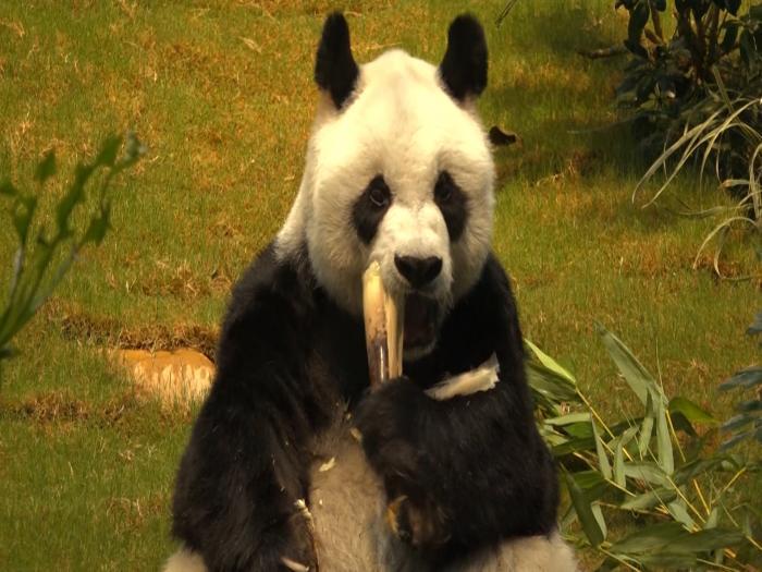 海洋公園大熊貓前路茫茫