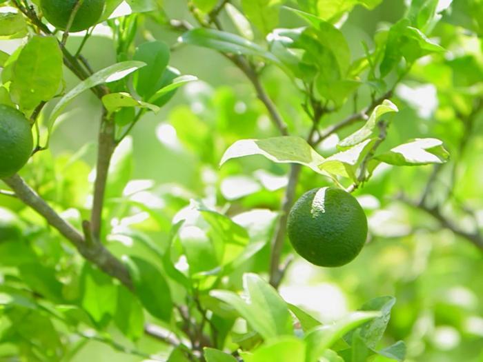 第三十一集: 呢個檸檬,可以變出咩花臣?